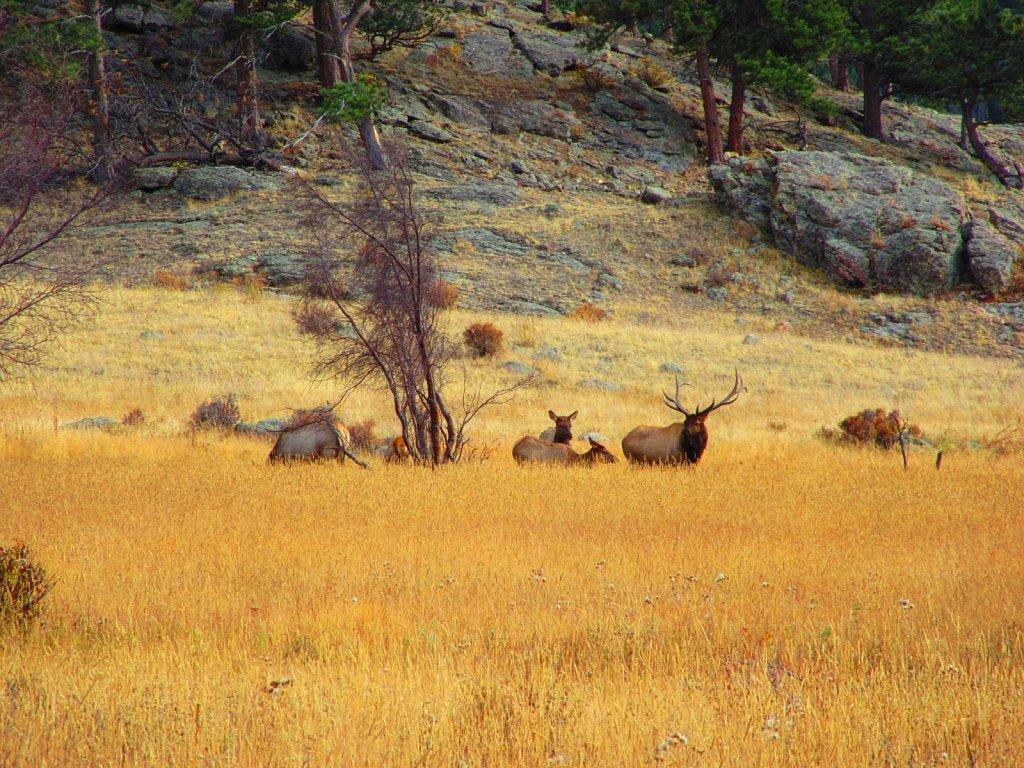 RMNP Elk Rut